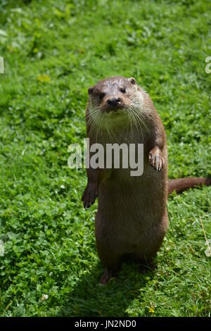 Eurasian otter (Lutra lutra) - sitting up on hindquarters begging - Stock Photo