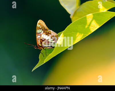 Solo Butterfly on a Leaf with Blurred Background - Stock Photo