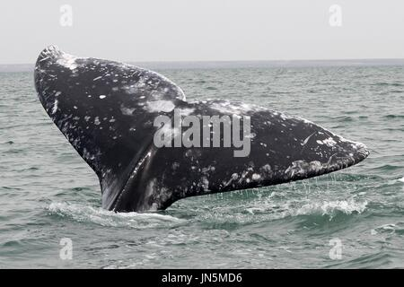 TAIL FLUKE OF GREY WHALE CALF - Stock Photo
