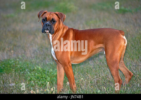 Boxer Male standing in meadow, portrait profile - Stock Photo