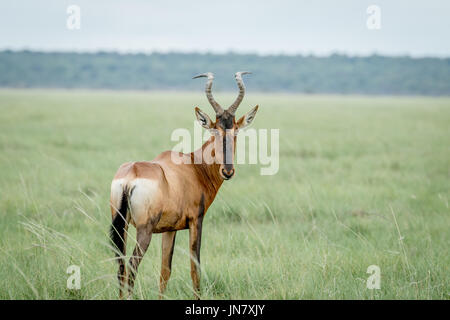Red hartebeest looking back at the camera in the Etosha National Park, Namibia. - Stock Photo