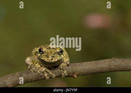 Northern gray tree frog facing forward - Hyla versicolor - Stock Photo