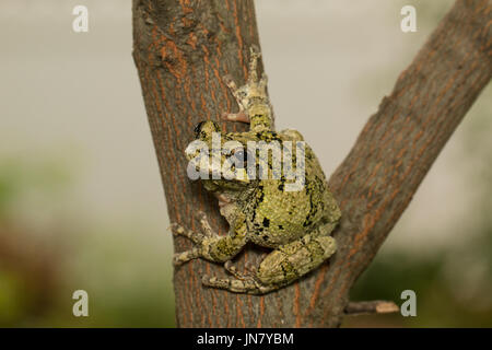 Northern gray tree frog clinging to the side of a tree branch - Hyla versicolor - Stock Photo