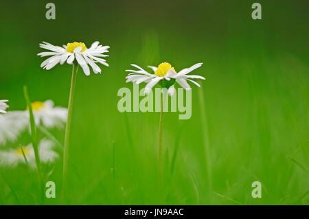 Daisies on meadow, North Rhine-Westphalia, Germany / (Bellis perennis) | Gaensebluemchen, Nordrhein-Westfalen, Deutschland - Stock Photo