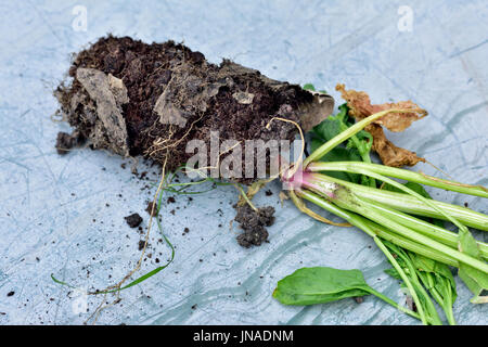 Root bound spinach plant started in thin cardboard tube and not able to escape as tube not disintegrating quick - Stock Photo