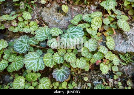 Saxifraga stolonifera - Stock Photo
