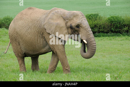 A lone female African Elephant grazing on lush green grass - Stock Photo
