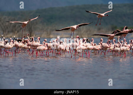 Lesser Flamingos Standing In Water With Others Flying (Phoeniconaias minor) At Lake Bogoria National Park, Kenya - Stock Photo