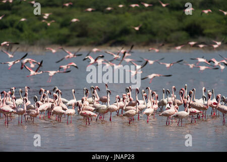 Lesser Flamingos Standing In Water And Flying In Background (Phoeniconaias minor) At Lake Bogoria National Park, - Stock Photo