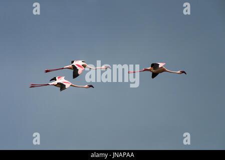Flying Lesser Flamingos (Phoeniconaias minor) At Lake Bogoria National Park, Kenya - Stock Photo