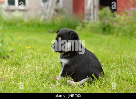 Lapland Reindeer dog, Reindeer Herder, lapinporokoira (Finnish), lapsk vallhund (Swedish). Monthly puppy in yard - Stock Photo