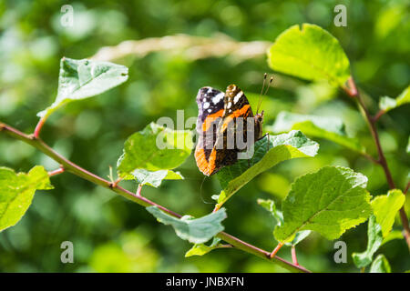 A right-hand ventral view of a Red Admiral (Vanessa atalanta) butterfly, with some of the left side dorsal showing. - Stock Photo