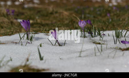 Crocuses in snow in mountain valley in spring - Stock Photo