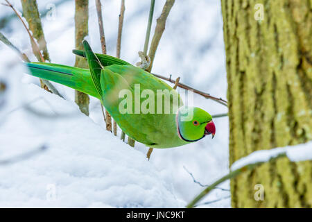 ring neck parakeet during snowy period in European winter - Stock Photo