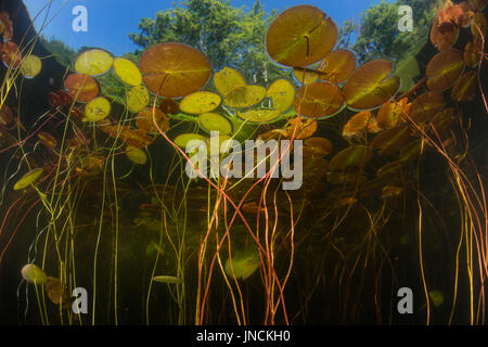 Lily pads grow at the edge of a freshwater pond on Cape Cod, Massachusetts. This beautiful New England peninsula - Stock Photo