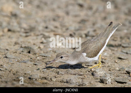 A spotted sandpiper Actitis macularia foraging for insects at the lake shore