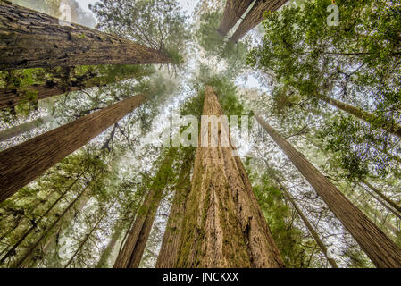 Redwood trees in Simpson-Reed Grove, Jedediah Smith State Park, California. - Stock Photo