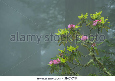 Rhododendron blooming in the fog, Del Norte Redwoods State Park, Redwoods State and National Parks, California. - Stock Photo