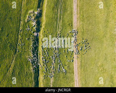 Aerial Drone View Of Sheep Herd Feeding On Grass - Stock Photo