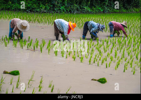 Farmers are growing rice in the farm in rural of Thailand - Stock Photo