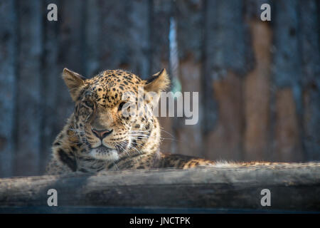 Far-Eastern leopard strong fast wild animal - Stock Photo