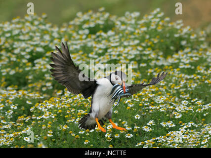 Atlantic puffin, Fratercula arctica, landing in daisies with Sand eels - Stock Photo