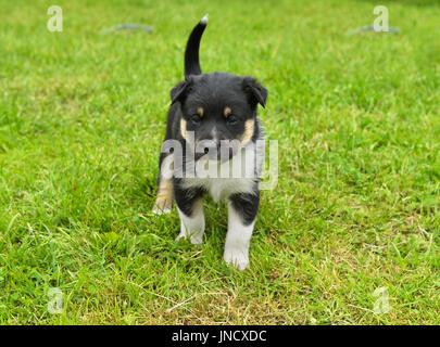 Lapland Reindeer dog, Reindeer Herder, lapinporokoira (Finnish), lapsk vallhund (Swedish). Month-old puppy on walk. - Stock Photo