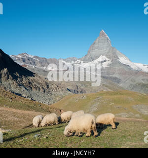 A herd of Valais Blacknose sheep walking in the Alps, with the famous Matterhorn in the background, Wednesday 24 - Stock Photo