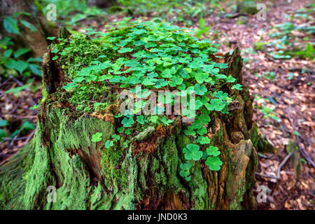 Stump with moss and clover in the forest - Stock Photo