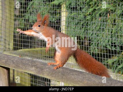 Red Squirrel (Sciurus vulgaris) - begging for food - Stock Photo