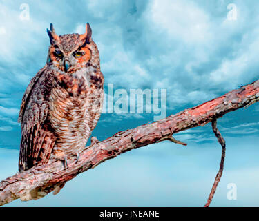 Great Horned Owl perched in a tree at sunset - Stock Photo