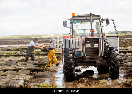 Oyster farm Kilcolgan, county Galway, July 2016. Tractor carrying oysters in metal bags. Kellys Oysters is family - Stock Photo