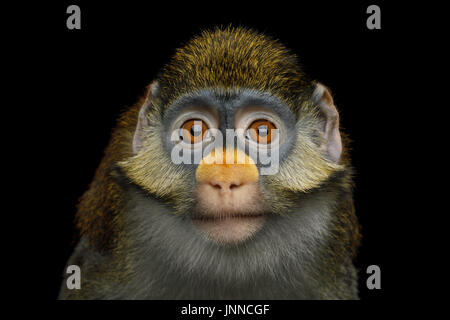 Red-tailed Monkey - Stock Photo