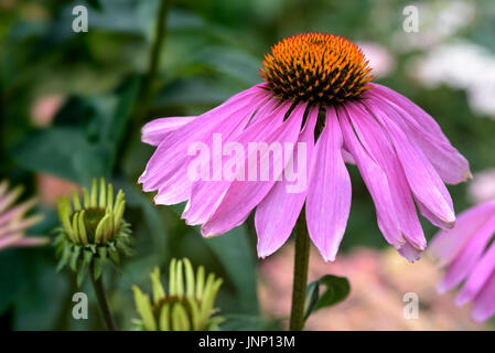 Echinacea purpurea Magnus, asteraceae. - Stock Photo
