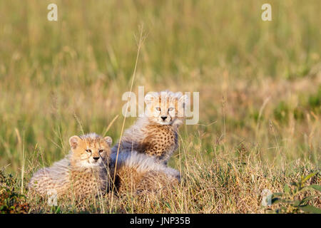 Young cheetah cubs hiding in the grass on the savannah - Stock Photo