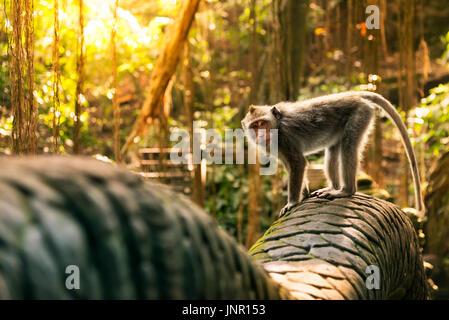 Monkey at the Dragon bridge in the Sacred Monkey forest Sanctuary. - Stock Photo
