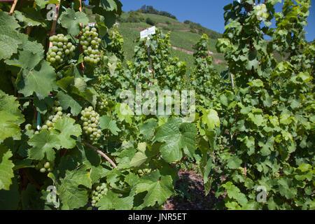 Weinstoecke mit Weintrauben, Weinhang in Uerzig, Mittelmosel, Rheinland-Pfalz, Landkreis Bernkastel-Wittlich, Deutschland, - Stock Photo
