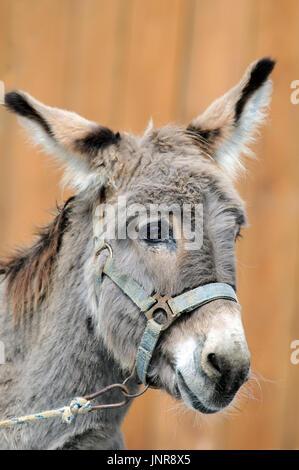 A portrait of stupid looking donkey (Equus africanus asinus). - Stock Photo