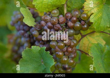 Blaue Weintrauben am Rebstock, Bernkastel-Kues, Mittelmosel, Rheinland-Pfalz, Deutschland, Europa | Grapes at the - Stock Photo