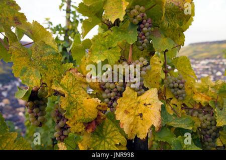 Weinstock mit weissen Weintrauben bei Bernkastel-Kues, Mittelmosel, Rheinland-Pfalz, Deutschland, Europa   Vine stock with white grapes at Bernkastel-