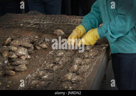 Halong Bay, Vietnam, pearl farm worker collecting farmed oysters - Stock Photo