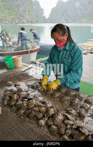 Halong Bay, Vietnam, pearl farm worker preparing farmed oysters - Stock Photo
