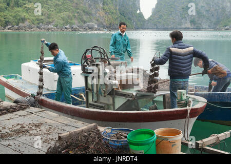 Halong Bay, Vietnam, pearl farm workers collecting farmed oysters - Stock Photo