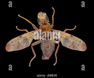 Burdock gall fly male Tephritis bardanae, darkfield photomicrograph - Stock Photo
