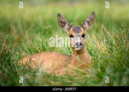 Baby roe deer on green summer meadow - Stock Photo