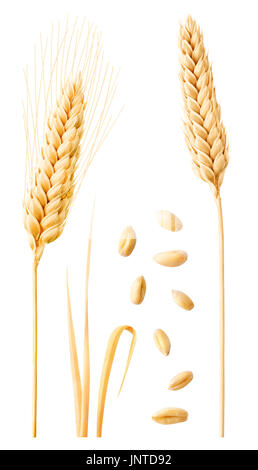 Isolated wheat collection. Two ripe wheat ears on stems, leaves and peeled grains isolated on white background with - Stock Photo