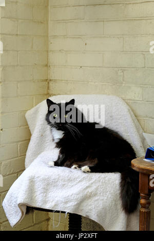Large black fluffy cat sitting on a seat in a British Animal Sanctuary - Stock Photo