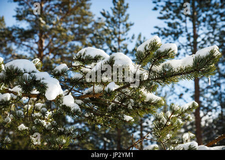 Snow Laden Branches On A Norwegian Spruce Tree - Stock Photo