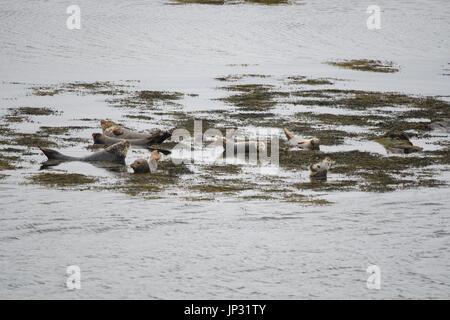 Wild Seals on the Isle of Harris, Outer Hebrides, Scotland - Stock Photo