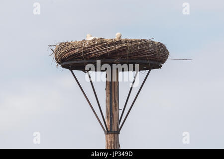 White stork sitting on a nest, the young ones are a few weeks old now - Stock Photo